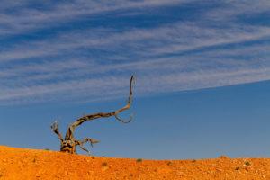 Ein verdörrter Baum im Bryce Canyon, Utah, USA
